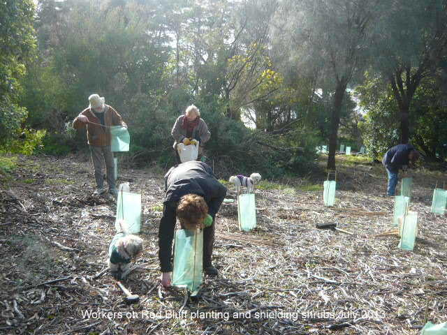 Red Bluff working bee July 2013 planting and shield