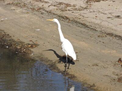 Egret at Estuary